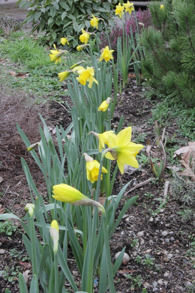 Daffodils, sure sign of Spring