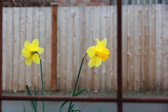 Rainy daffodils