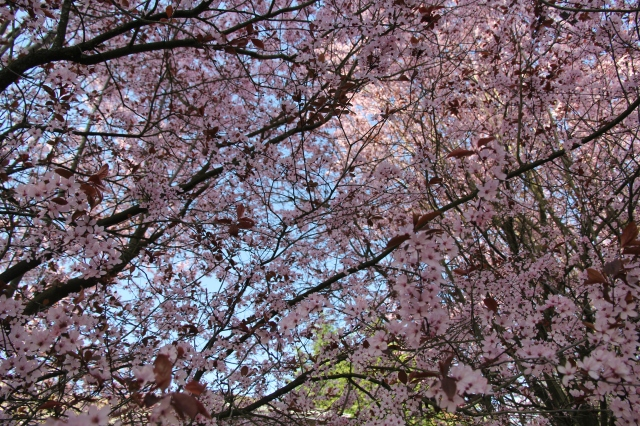 Canopy of cherry blossoms