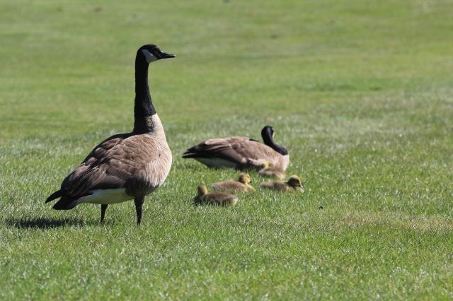 The Honk Family