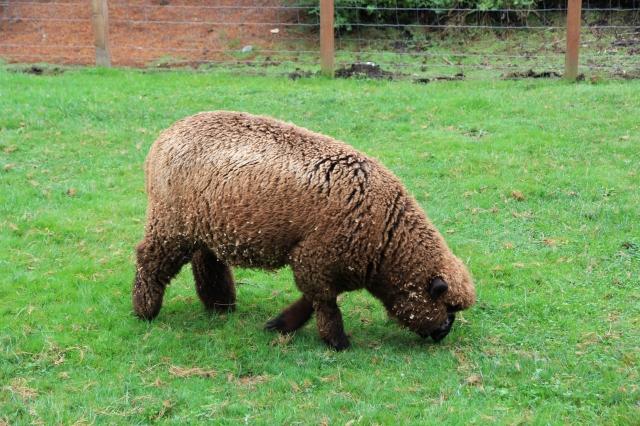 bear sheep