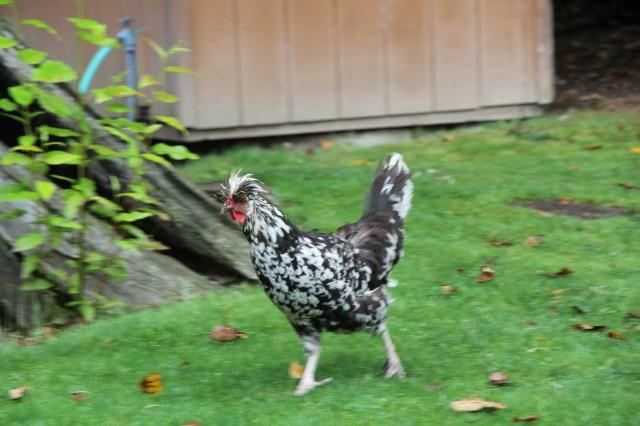 Fancy, fast chicken
