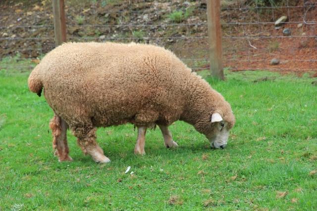 normal sheep