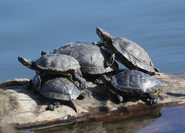 Turtle Stacking