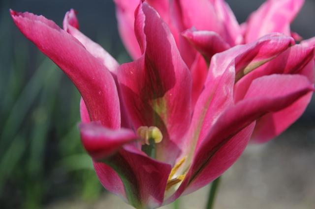 Big tulip