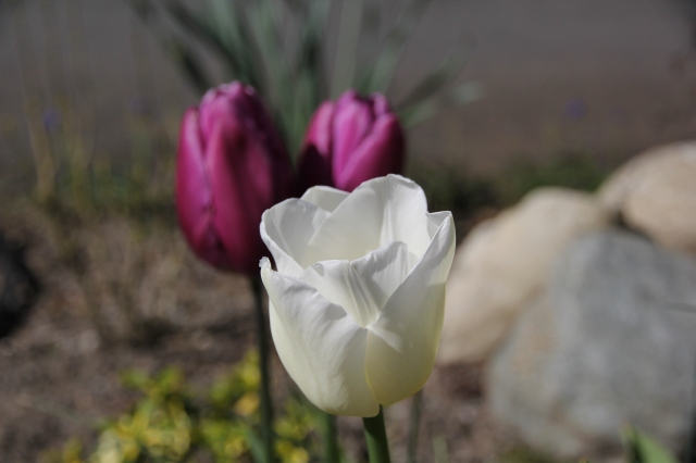 Tres tulip