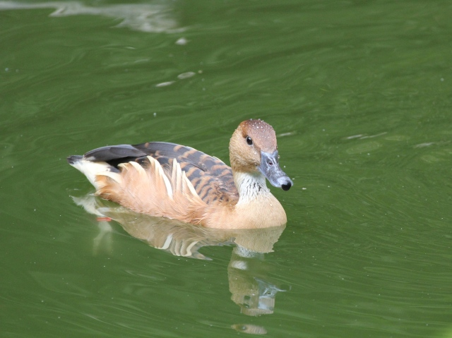 Tiger striped duck