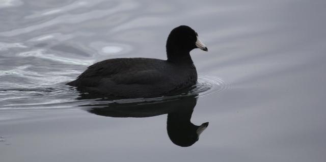 Quack Quack Quack