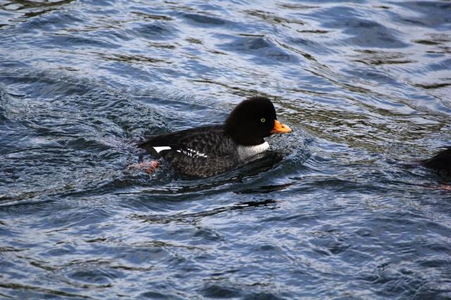 Quack-ette