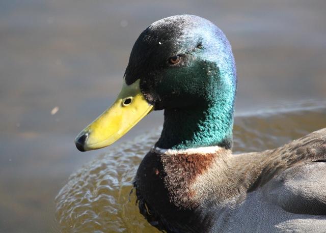 Hiya Duck