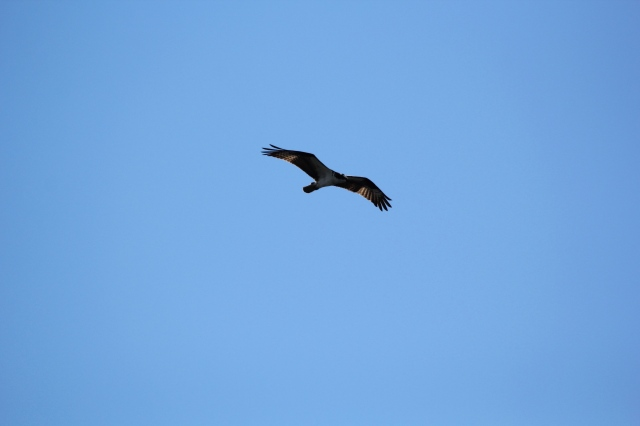 Hawklike