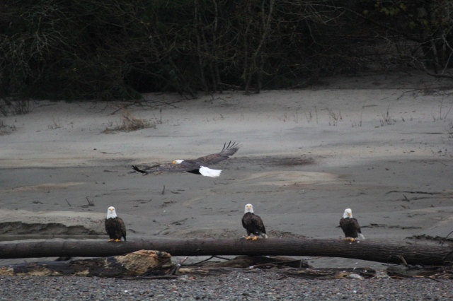 bald-eagles