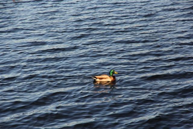 hiya-duck