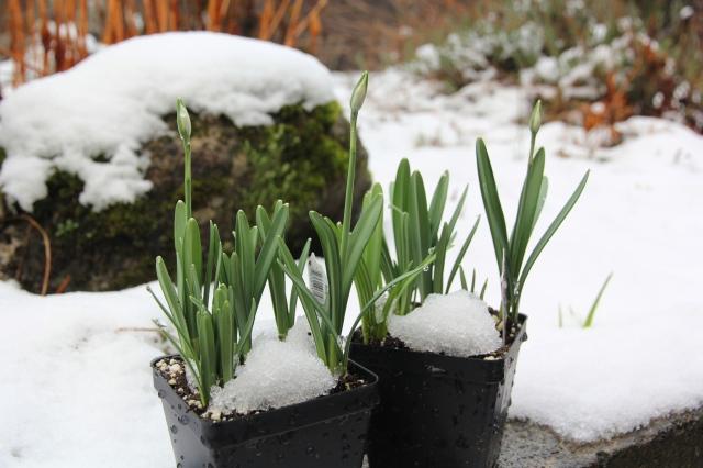 snowy-flowers